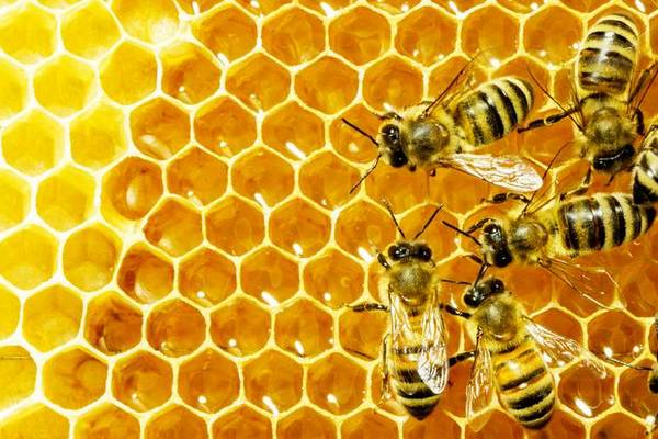 arı sütü üretimi iş fikri
