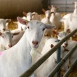 Damızlık Süt Keçisi Üretim Çiftliği
