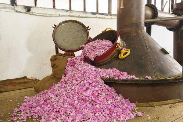 gül yağı üretimi iş fikri