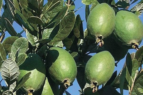 Kaymak Ağacı Meyvesi Yetiştiriciliği