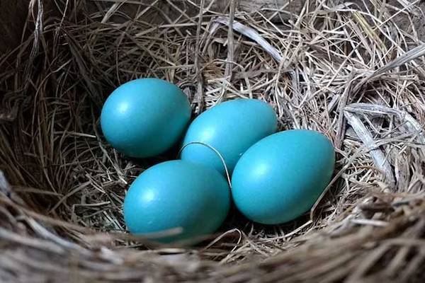 Mavi Yumurta Üreterek Para Kazanmak