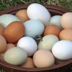 organik yumurta nasıl üretilir