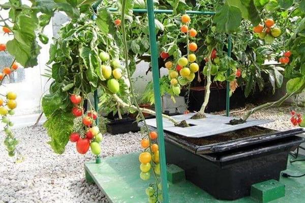 su'da domates yetiştirmek ister misiniz